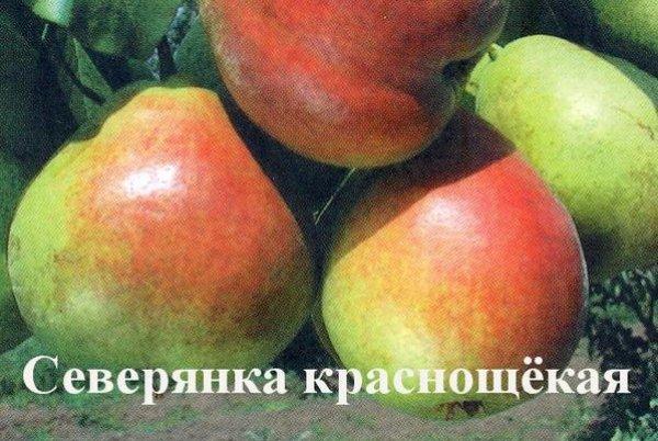 Сорт груш Северянка Краснощекая описание сорта достоинства и недостатки