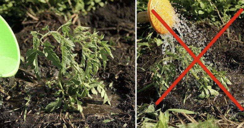 томат, описание, фото, выращивание