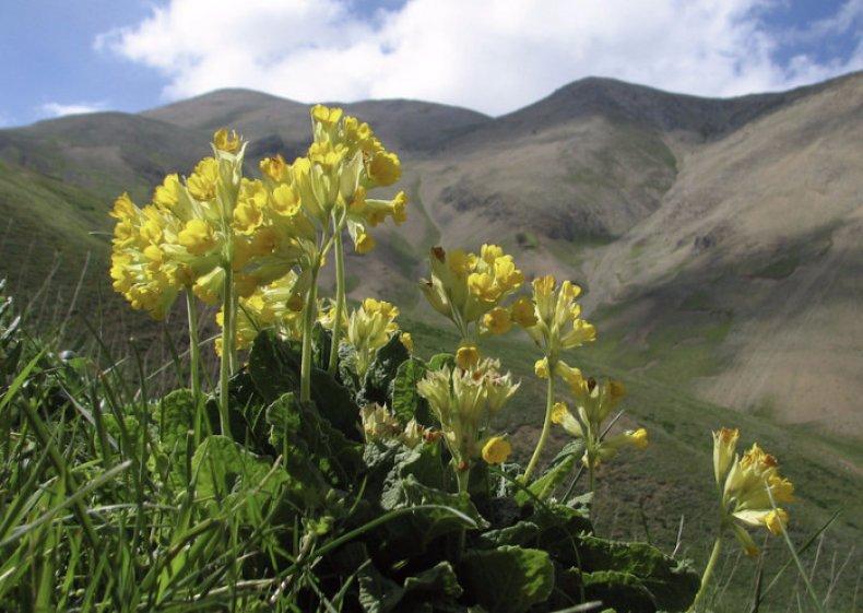 Первоцвет в горах
