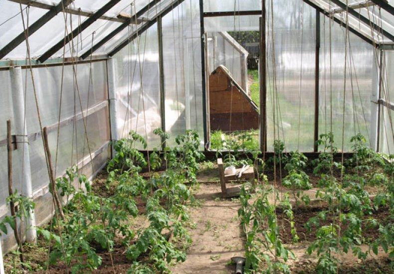 как сажать томаты в теплице