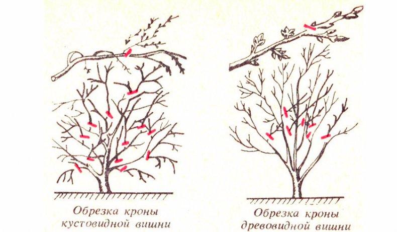 обрезка и формирование вишни осенью