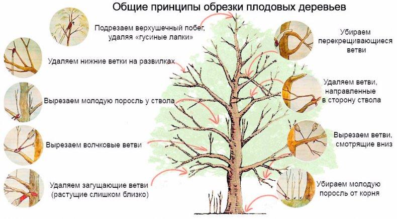 обрезка, вишня, осень, новичок