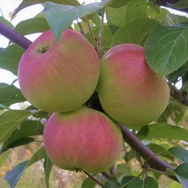Сорт яблони подарок садоводам фото и описание сорта 18