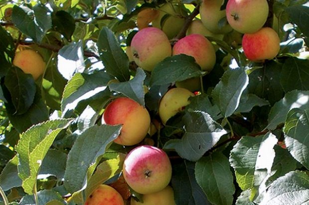 Сорт яблони подарок садоводам и описание сорта