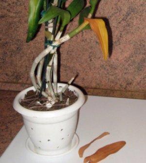 если у орхидеи отпали листья что делать