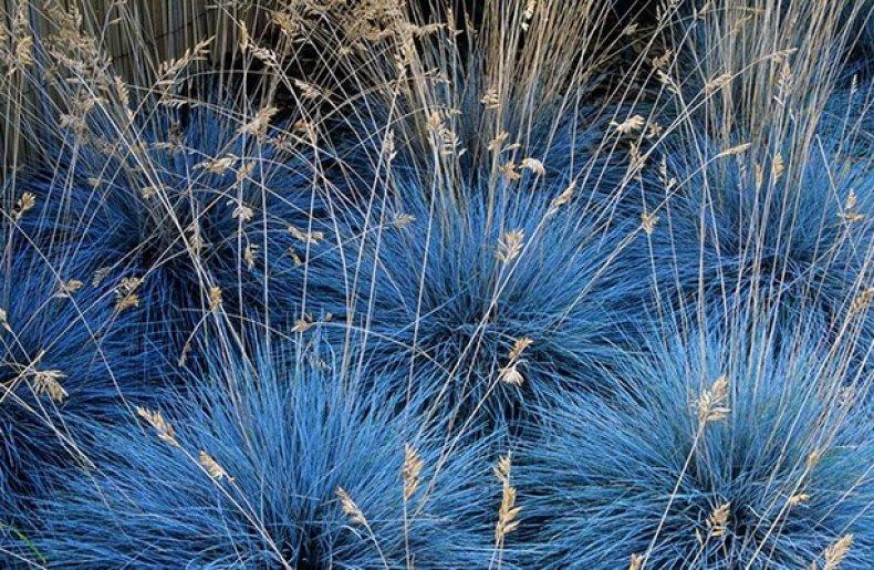 Овсяница голубая