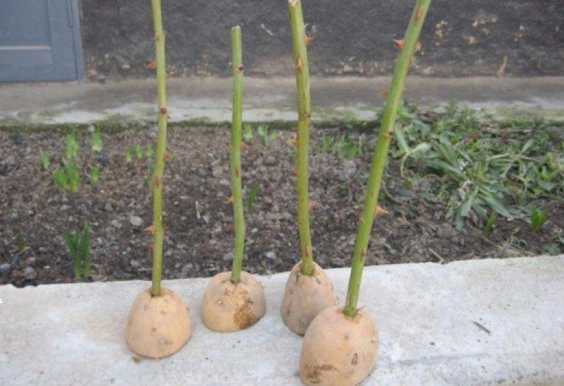 Укоренение в картофеле