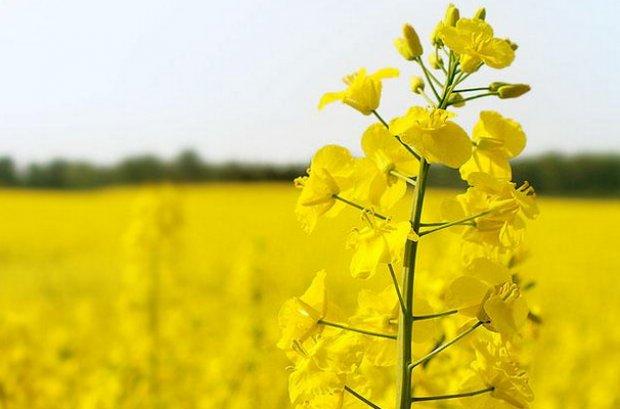 Горчица - хороший сидерат Почвы и удобрения 33