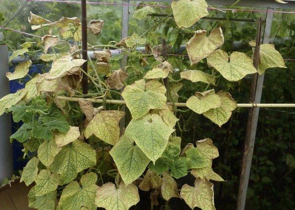 Листья огурцов желтеют и засыхают