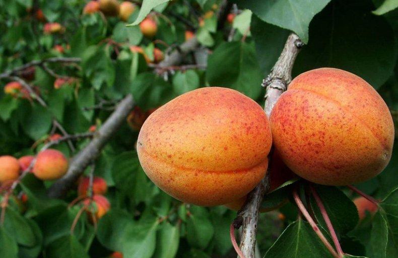 фрукт, жердела, абрикос, Витамин Витамин, витамин витамин витамин
