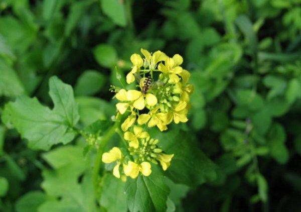 Медонос редька масличная – виды, медопродуктивность, полезные свойства