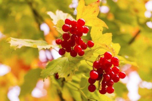 Калина красная: инструкция по применению, полезные свойства ягоды, противопоказания при приеме, различные рецепты приготовления
