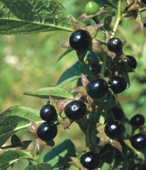 Белладонна: что это за растение, в чём польза и применение