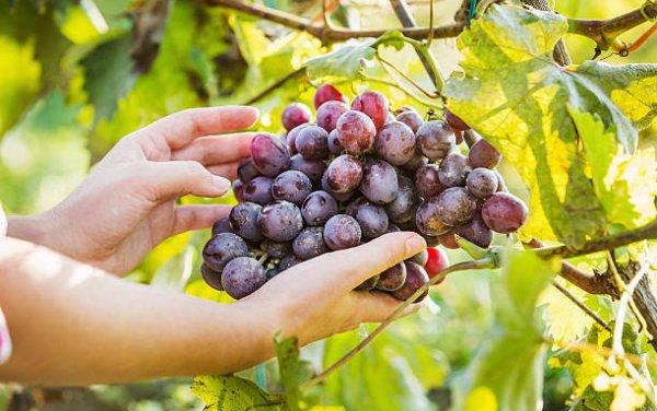 Какие витамины содержатся в винограде какого витамина больше всего польза и вред для человека можно ли есть на ночь
