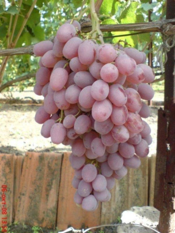 виноград розовый персиковый характеристика