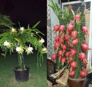 Как вырастить питахайю из семян в домашних условиях