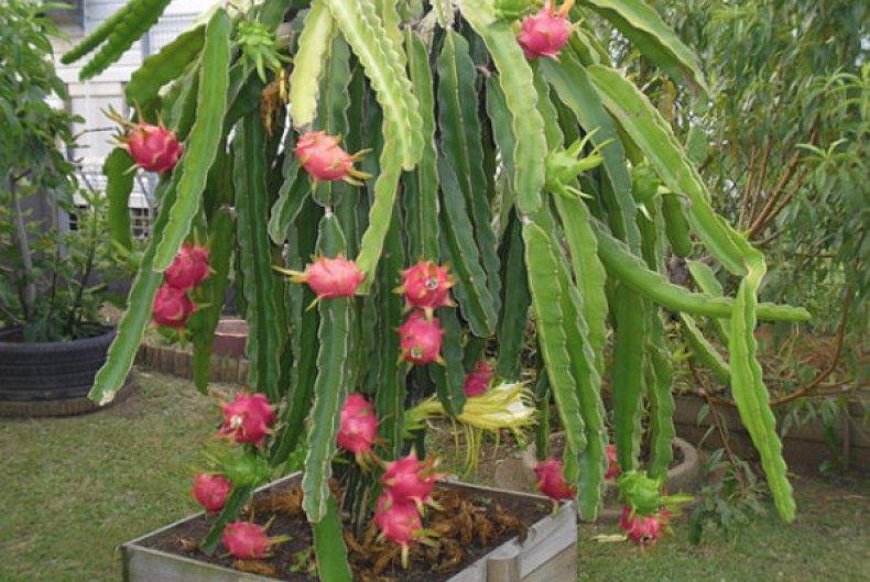 выращивание питахайи в домашних условиях фото