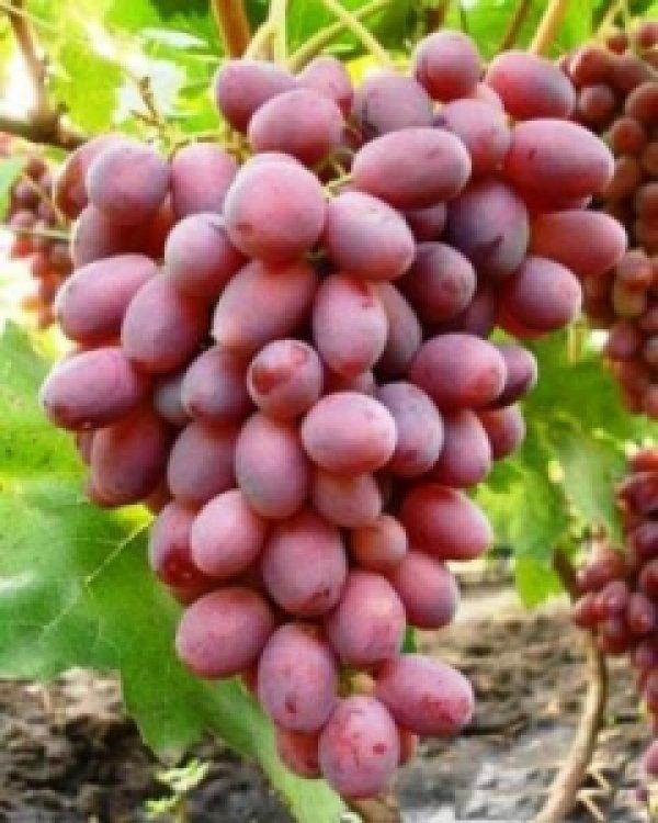 Виноград роза дамасская