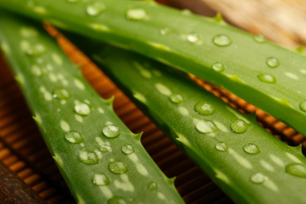 Лечебные свойства алоэ. Применение алоэ в народной медицине