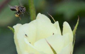 Хлопковый мед полезные свойства и противопоказания