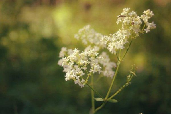Белоголовник трава полезные свойства фото