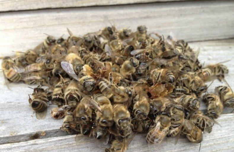 полезные свойства подмора пчел