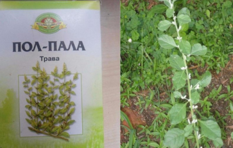 трава, лечебный, противопоказание, инструкция, камни почках