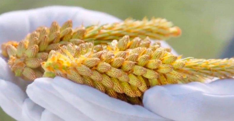 пыльца, сосна, противопоказание, польза