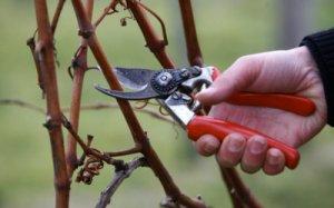 Обрезка защитит виноград от перегрузки