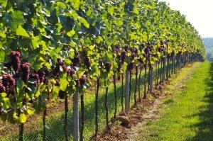 Как правильно посадить виноград?