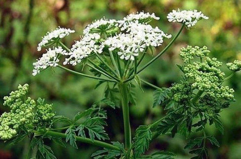 Растение болиголов
