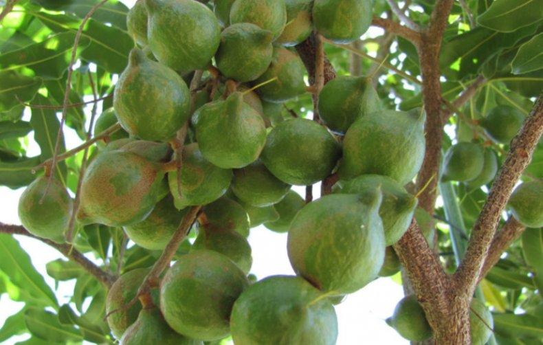 макадамия, орех, калорийность, Макадамия орех