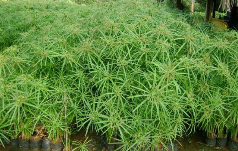 ореховый, трава, сыть, противопоказание, рецепт