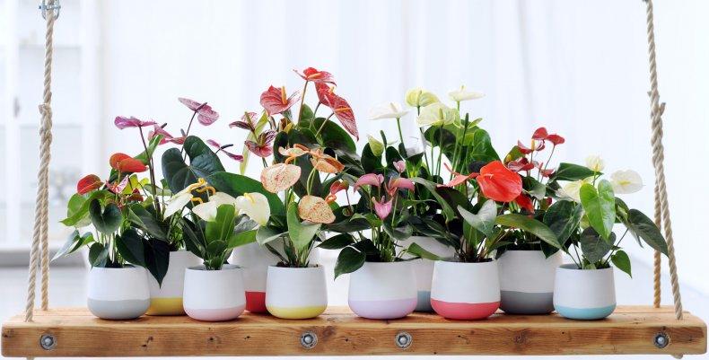 цветок, мужской, счастье, антуриум, ухаживать