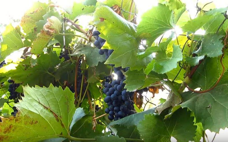 Вино - шаг 1