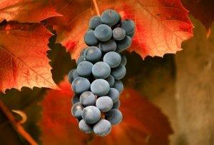 Осень тоже подходит для посадки винограда