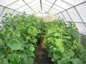 выращивание, огурец, прищипывать, теплица, грунт
