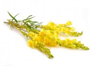 трава, льнянка, описание, лечебный, противопоказание