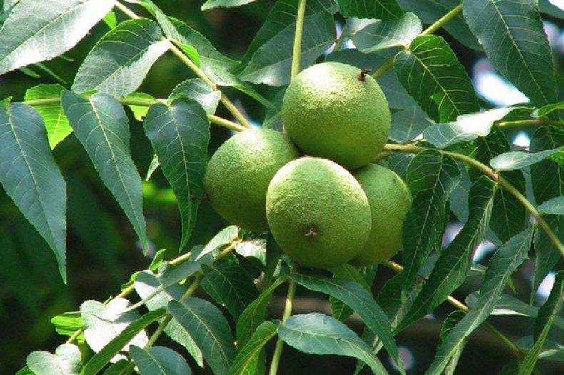 Листья черного ореха