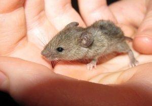 Como atrapar un raton en casa excellent trampas para ratones with como atrapar un raton en casa - Como atrapar ratones ...