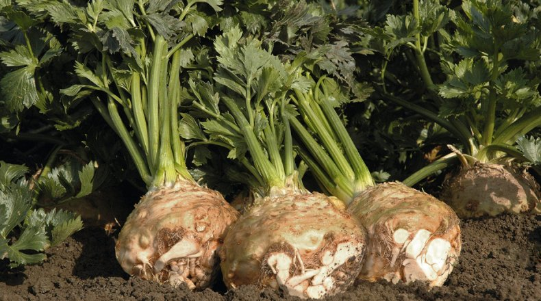 сельдерей, корневой, польза, вред, калорийность, эфирной основе