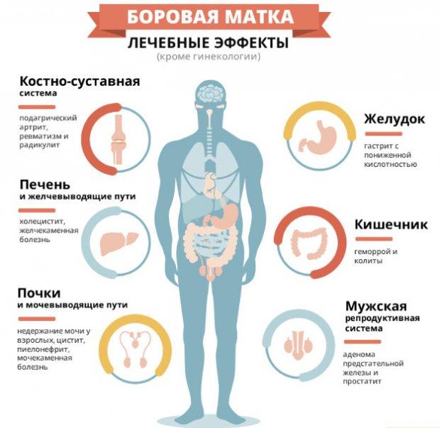 Боровая матка: лечебные свойства, противопоказания и применение для женщин в гинекологии. Инструкция для мужчин: как принимать,