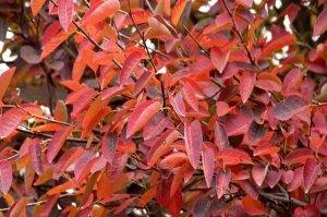 Листья ирги
