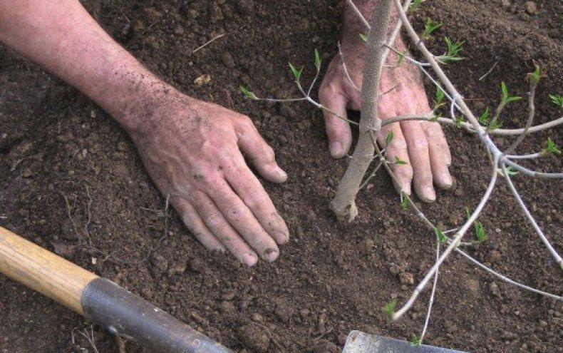 сорт, яблоня, легенда, выращивание, Молодые деревья, сорта «Легенда»