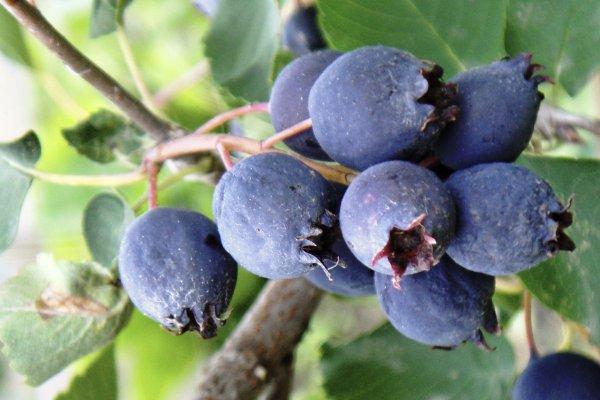Ирга  полезные свойства и противопоказания ягоды применение
