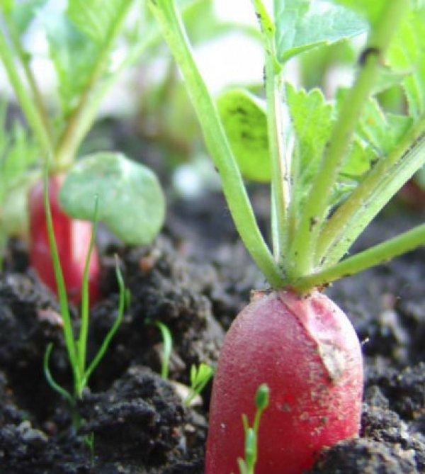 Сколько растет редиска в теплице
