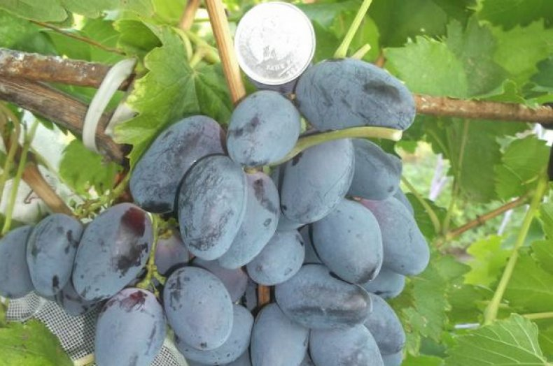 Виноград «Фурор»