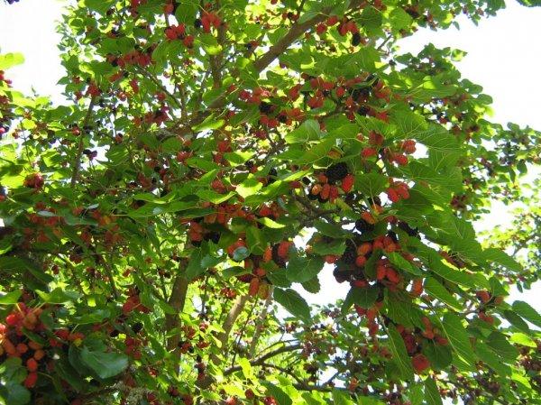 Секреты выращивания шелковицы как правильно ухаживать за деревом