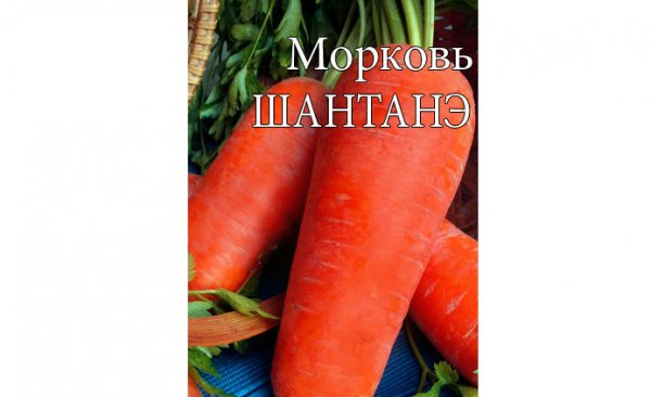 Какие сорта моркови сажают под зиму
