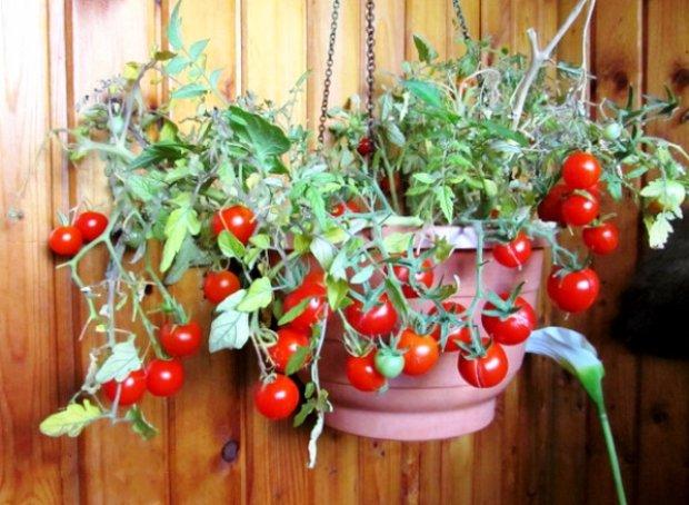 """Томат """"балконное чудо"""", как выращивать."""